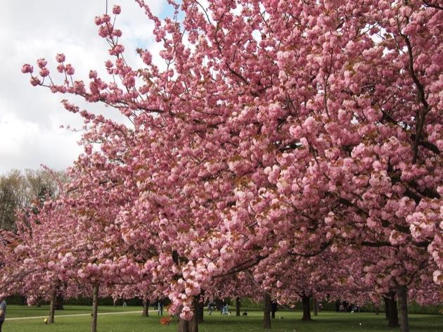 Instant T japonais : les cerisiers en fleurs