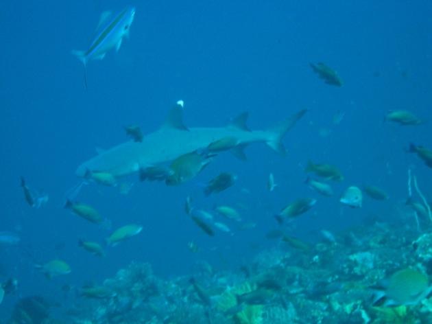 A la rencontre des requins...
