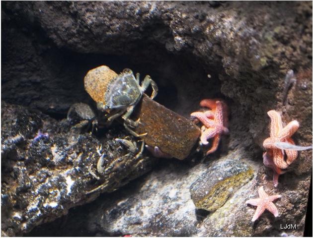 crabe_gris