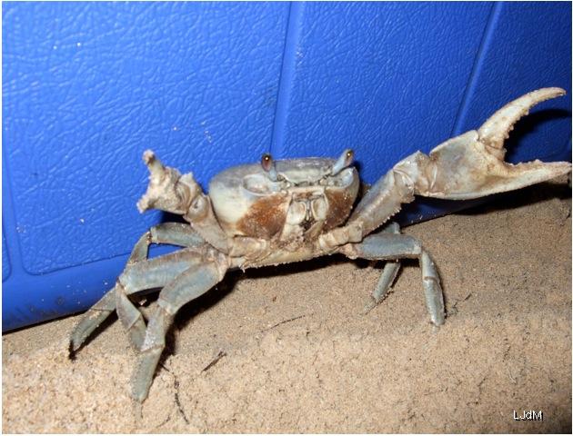 crabe_honduras