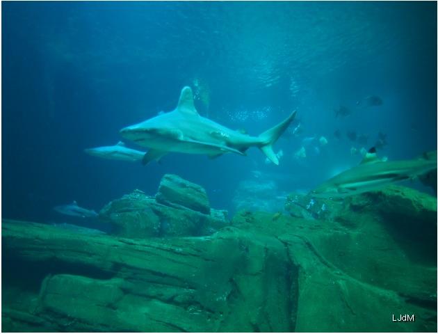requins2