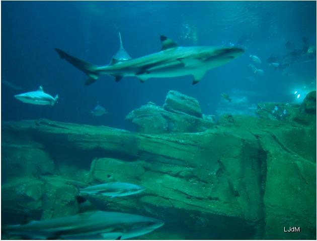 requins3