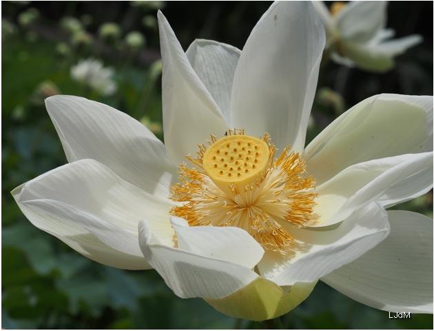 Lotus_pamplemousse