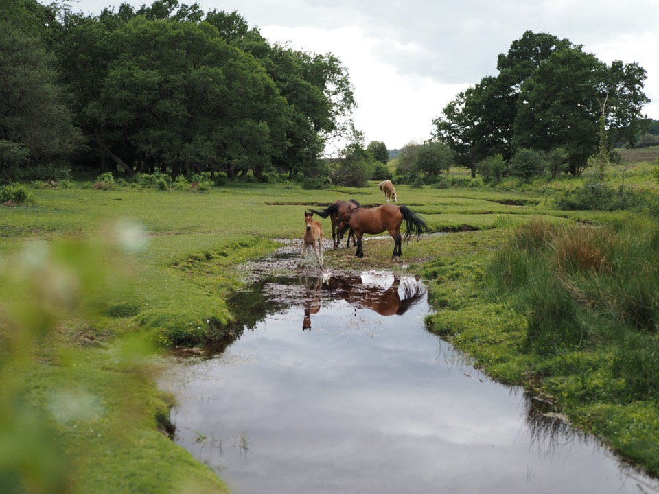 foals in the new forest