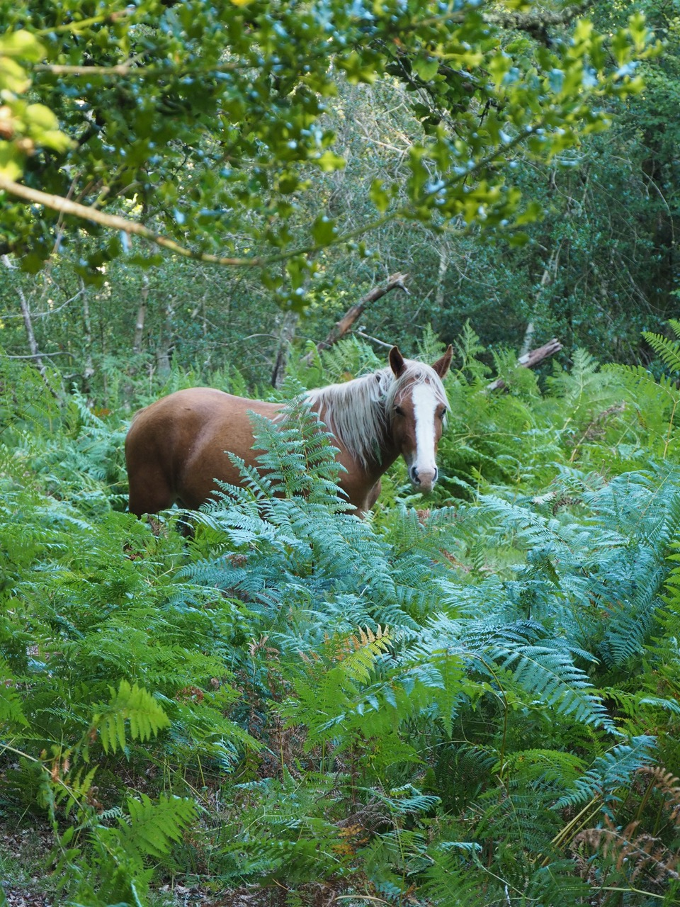 ponies of the new forest