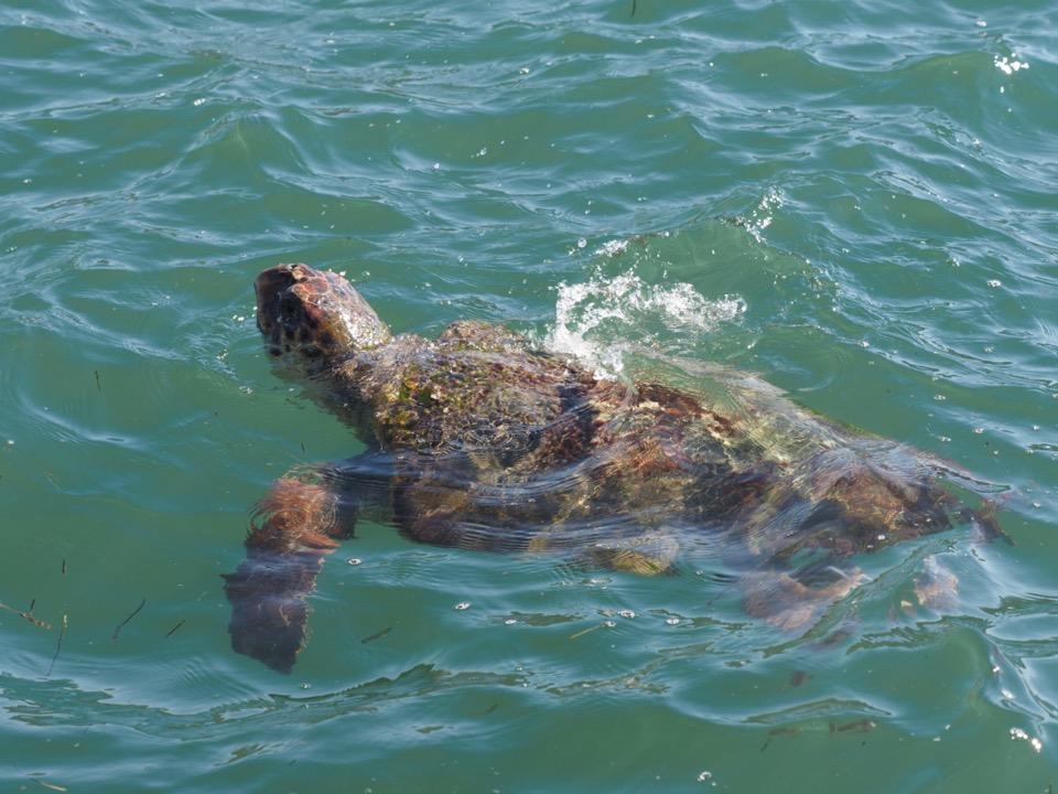 tortue céphalonie
